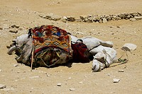 Egypt, Saqqara necropolis, a camel sleeps on the sand, by a very hot summer.