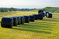 Silage bales rapped in black plastic in a field. Gilsland, Cumbria, England, UK.
