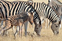 Two Burchell's zebras (Equus burchelli), grazing, and a young foal urinating, Etosha National Park, Namibia, Africa.