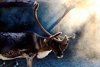 Khanty Mansiysk Autonomous Okrug-Yugra. Reindeer on the summer camp.
