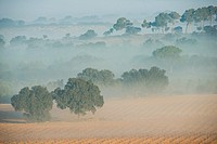 Holm oaks (Quercus ilex) in fog, Paraje de Botas, Almansa, Albacete province, Castilla-La Mancha, Spain España.