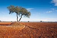 Oaks in The Calveños. Navahermosa. Toledo. Castilla la Mancha. Spain. Europe.
