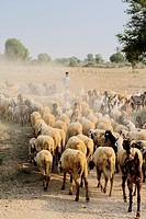 Sheperd and sheep at the Bishnoi region.