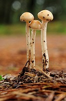 Protostropharia fungi.