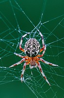 Orb Weaver spider, Araneus marmoreus, on its web, Quebec, Canada.