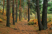The trekking route to El Purgatorio waterfalls cross a pine forest alongside Aguilón river, in the high Lozoya Valley at Sierra de Guadarrama mountain...