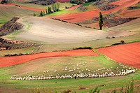 Flock of sheep and shepherd, beautiful cereal fields in Rioja wine region, La Rioja, Spain, Europe.