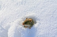 Mouse making his way out of snow