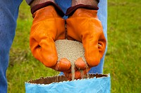 Farmer pouring clover seed through gloved hands into bag.