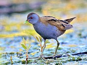 A Little Crake Porzana parva, Crete, Greece