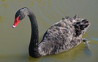 Black swan (Cygnus atratus), swimming. Hawai´i. Native to Australia.