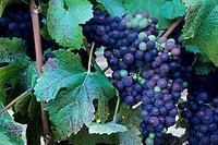 Wine grapes on the vines at Byington Vineyard & Winery, Santa Cruz Mountains, California.
