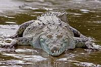 Crocodylus acutus. American crocodile. Rio Tarcoles. Costa Rica.