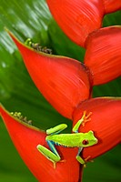Agalychnis callidryas - red eyed tree frog on a Héliconia bihai. Costa Rica.