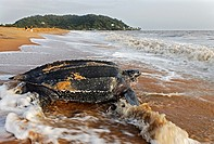 Dermochelys coriacea. Leatherback turtle on the beach of Rémire-Montjoly. Back to the Sea. French Guiana.