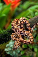 Epicrates cenchria. Young rainbow boa on a low branch. French Guiana.