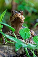 Paleosuchus palpebrosus. Young dwarf caiman in the forest. French Guiana.