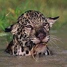 Panthera onca. Young jaguar playing in the water. French Guiana.