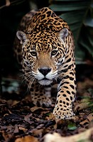 Panthera onca. Jaguar about to bound. French Guiana.