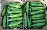 Vegetable production in the Belgorod region. Harvest cucumbers.
