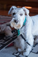 A white miniature schnauzer has a very special appeal.