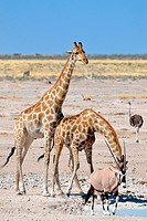 Two Giraffes (Giraffa camelopardalis), drinking at waterhole, and a male gemsbok (Oryx gazella), walking, Etosha National Park, Namibia, Africa.