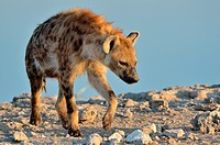 Spotted Hyena (Crocuta crocuta), walking near a waterhole, in late afternoon, Etosha National Park, Namibia, Africa.