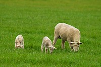Sheep with lamb, Linn County, Oregon.