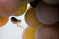 Spider amongst grapes, UK.