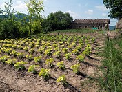 Vegetable garden of young green beans with drip irrigation hosepipes. Prat de Lluçanes countryside. Osona region. Barcelona province, Catalonia, Spain...