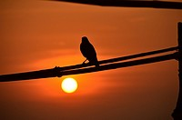 India, Goa, bird on a branch resting at sunset.