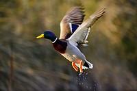 Mallard duck (Anas platyrhynchos), Parque de Polvoranca, Leganes, Madrid, Spain