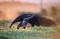Giant anteater (Myrmecophaga tridactyla), in front of sunset, walking through bush and grassland, Mato Grosso do Sul, Brazil.