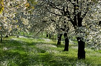 Cherry orchard in spring, Franconia, Bavaria, Germany.