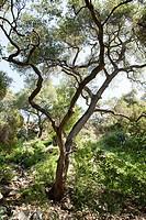 Quercus agrifolia, common name: coast live oak, lines a path through the Santa Barbara Botanic Garden; Santa Barbara; Santa Barbara County; California...