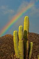 Landscape with cardon cacti (Pachycereus pringlei) and rainbow on Isla Espiritu Santo in Baja California, Mexico.
