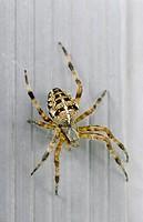 Garden spider, Araneus diadematus