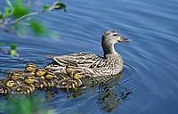 Mallard duck female with ducklings. Quebec, Canada.
