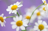 scentless feverfew, charming daisy-like tansy.