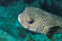 Porcupinefish in the Caribbean sea around Bonaire. Gestippelde egelvis.