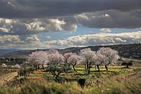 Rioja wine region, blossom almond trees and vines in San Asensio, La Rioja, Spain.