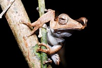File-eared Tree Frog (Polypedates otilophus) in Kubah national park, Sarawak, Malaysia, Borneo.
