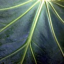 Closeup of an elephant ear leaf.