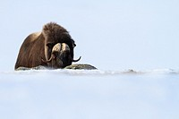 Muskox (Ovibus moschatus) looking at camera. Dovrefjell-Sunndalsfjella National Park. Norway.