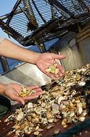 mollusc fisheries in the Atlantic sea, hyuelva, Andalucia, Spain, Europe.