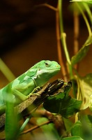 Close-up of a Fiji banded iguana (Brachylophus fasciatus) in a terrarium.