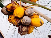 Coconut plants.