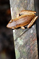 Four-lined Tree Frog (Polypedates leucomystax) in Kubah national park, Sarawak, Malaysia, Borneo.