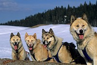 Siberian Husky, sled dogs at Bellecombe, Jura department, Franche-Comte region of eastern France, Europe.