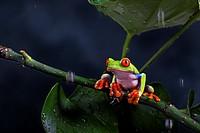 Agalychnis callidryas. Red eyed tree frog under the rain. Costa Rica.